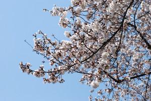 Blog_sakura2012_004