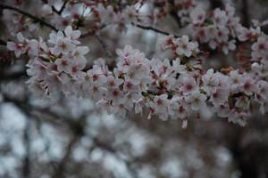B_sakurakoshigaya_010