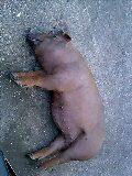 豚とたわむる